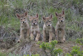 Coyote pups (Photo by Jason Bantle)