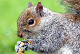 Eastern grey squirrel (Photo from Wikimedia Commons by Keven Law)