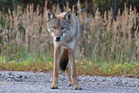 Eastern wolf (Photo by Rebecca Rogge, iNaturalist)