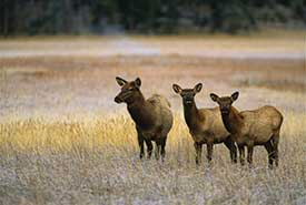 Elk in the Columbia Valley, BC (Photo by Twildlife - Dreamstime)