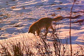 Fox at Rockland Bay property (Photo by NCC)