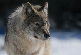 Gray wolf (Photo by Mike Dembeck)