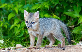 Gray fox kit (photo by Ken Canning)