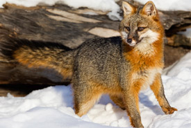 Gray fox (Photo by Ken Canning)