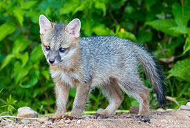 Gray fox pup (Photo by Ken Canning)