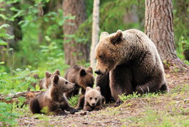 Grizzly bears (Photo by Shutterstock)