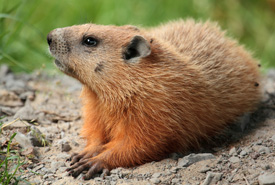 Groundhog (Photo by Cephas/Wikimedia Commons)