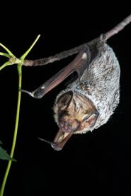 Hoary bat (Photo by Brock Fenton)
