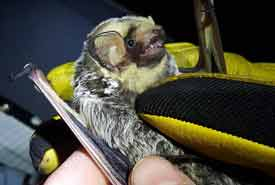 Hoary Bat (Photo by Sarah Ludlow)