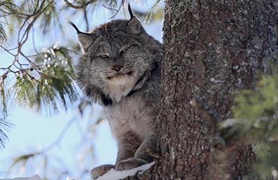 Lynx, NS (Photo by Mike Dembeck)