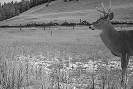 Male deer caught on camera in the Crowsnest Pass