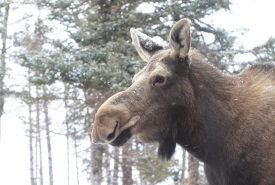 Moose (Photo by Mike Dembeck)
