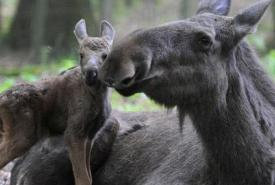Moose and her calf (Photo courtesy of Wild for Wildlife and Nature)