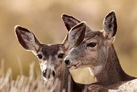 Mule deer (Photo by Henry/Flickr-cc)