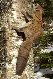 Northern flying squirrel (Photo by Bob Cherry)