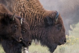 Bison at Old Man On His Back, SK (Photo by Gail Chin)