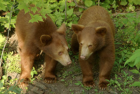 Cinnamon-coloured American black bear, Kenauk (Seigneurie Papineau) (Photo by Kenauk Nature)