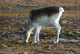 Peary caribou (Photo by Emilie Desjardins, CC-BY-NC)