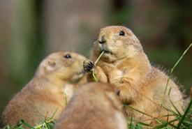 Prairie dog (Photo by Dick Mudde /Wikimedia Commons)