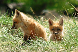 Red fox kits (Photo by NCC)