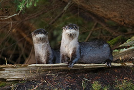 River otters (Photo by Dreamstime)
