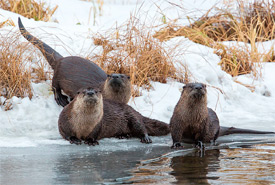 River otters (Photo by John E. Marriott)