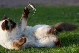Siamese cat playing with mouse (Photo by Niels Hartvig/Wikimedia Commons)
