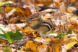 Eastern chipmunk, Happy Valley Forest, ON (Photo by Simon Yam)