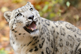 Snow leopard (Photo by Eric Kilby/Wikimedia Commons)