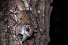 Southern flying squirrel (Photo by Judy Frederick)
