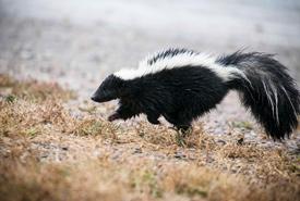 Striped skunk (Photo by K. Theule/USFWS)
