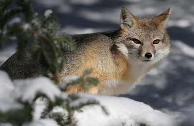 Swift fox, SK (Photo by Mike Dembeck)