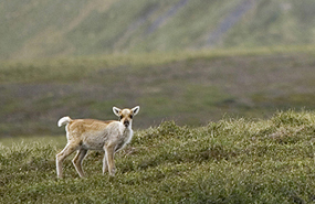 The boreal and arctic regions support wide-ranging mammals like caribou, wolf, marten and lynx. (Photo by Parks Canada)