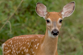 White-tailed deer (Photo by Lorne)