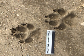 Wildlife tracks (Photo by Fiera Consulting)