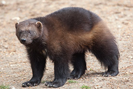 Wolverine (Photo by Dreamstime)