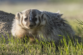 American badger at Hole in the Wall (Photo by Jason Bantle)