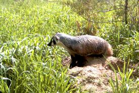 American badger at Columbia Lake-Lot 48. (Photo by NCC)