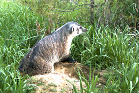 American badger spotted at Columbia Lake-Lot 48. (Photo by NCC)