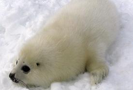 Baby harp seal (Photo by Matthieu Godbout/Wikimedia Commons)