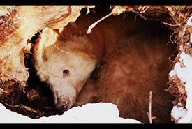 Grizzly bear cub denning (Photo by Sarah Whynne CC BY-NC 2.0)