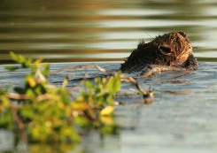 A beaver carries a willow branch across the water. (Photo by Steve Hillebrand, courtesy of USFWS)