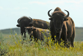 Roaming bison at Old Man on His Back ranch (Photo by Mark Taylor)