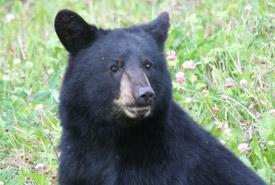 Black bear (Photo by NCC)