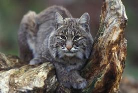 Bobcat (Photo by Gary Kramer, courtesy of USFWS)