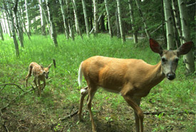 Camera trap image of a deer with a fawn in the Crowsnest Pass (Photo by NCC)