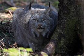 Canada lynx (Photo by Mike Dembeck)