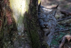 The Canada lynx slowly peeks out from behind a tree. (Photo by Mike Dembeck)