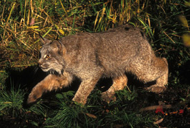Canada lynx (Photo courtesy of USFWS)
