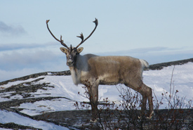 Caribou stag (Photo by David Elliot)